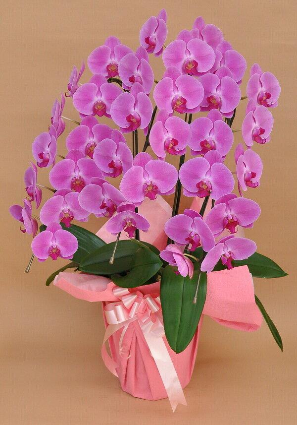 胡蝶蘭3本立 ピンク