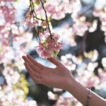 桜を触ろうとする手