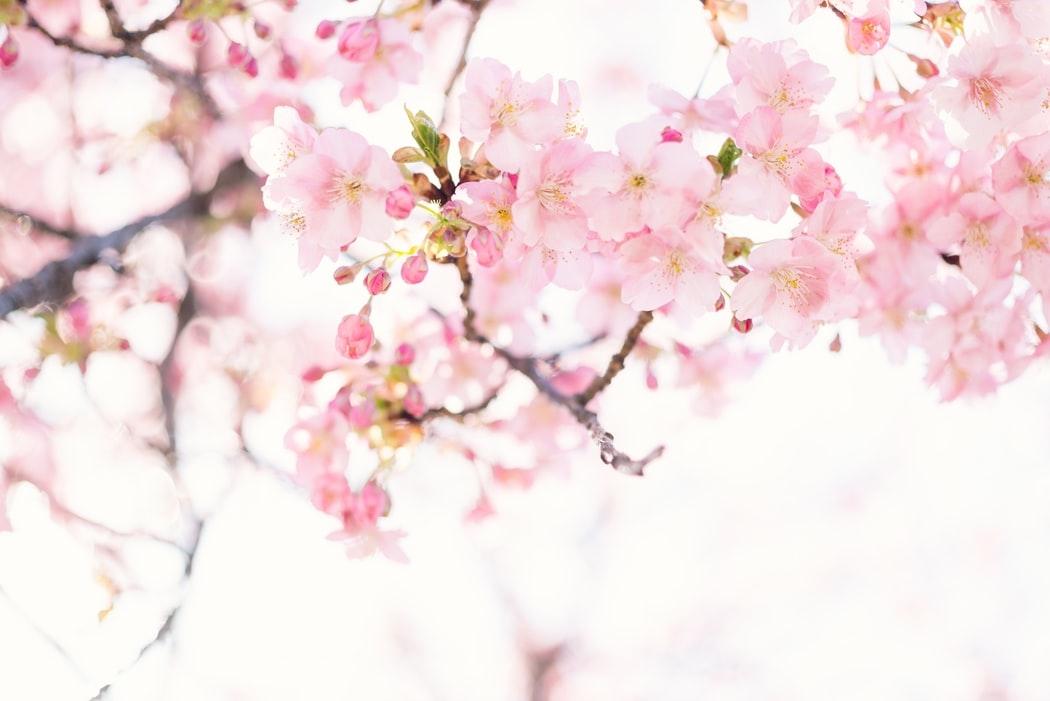 桜の香りで女子力上げちゃお