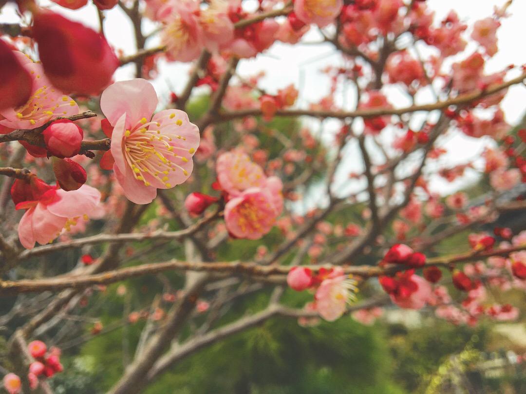 昔の人にとっての、梅の花って