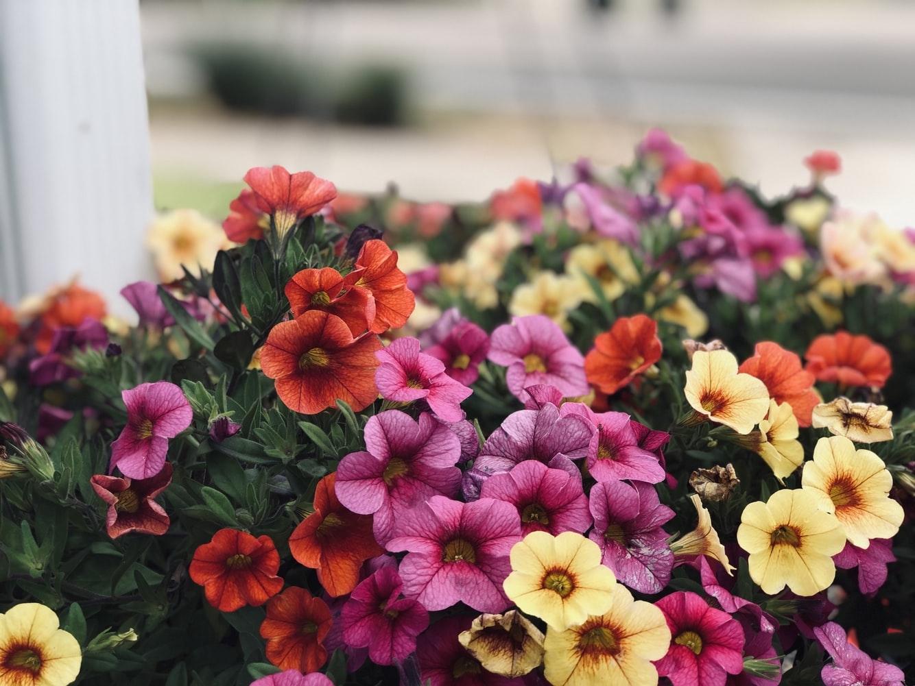 主な誕生花:ペチュニア