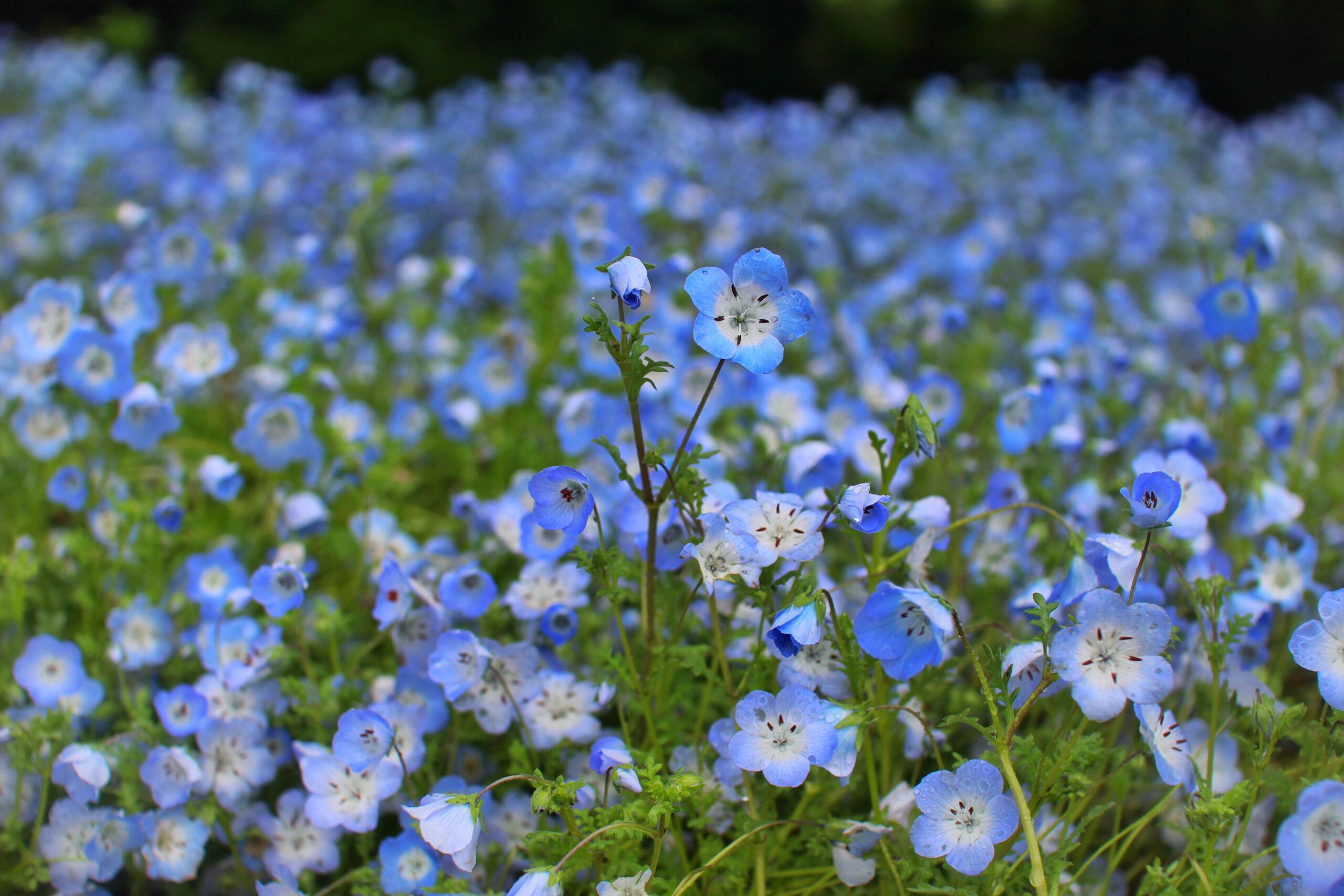 主な誕生花:ワスレナグサ
