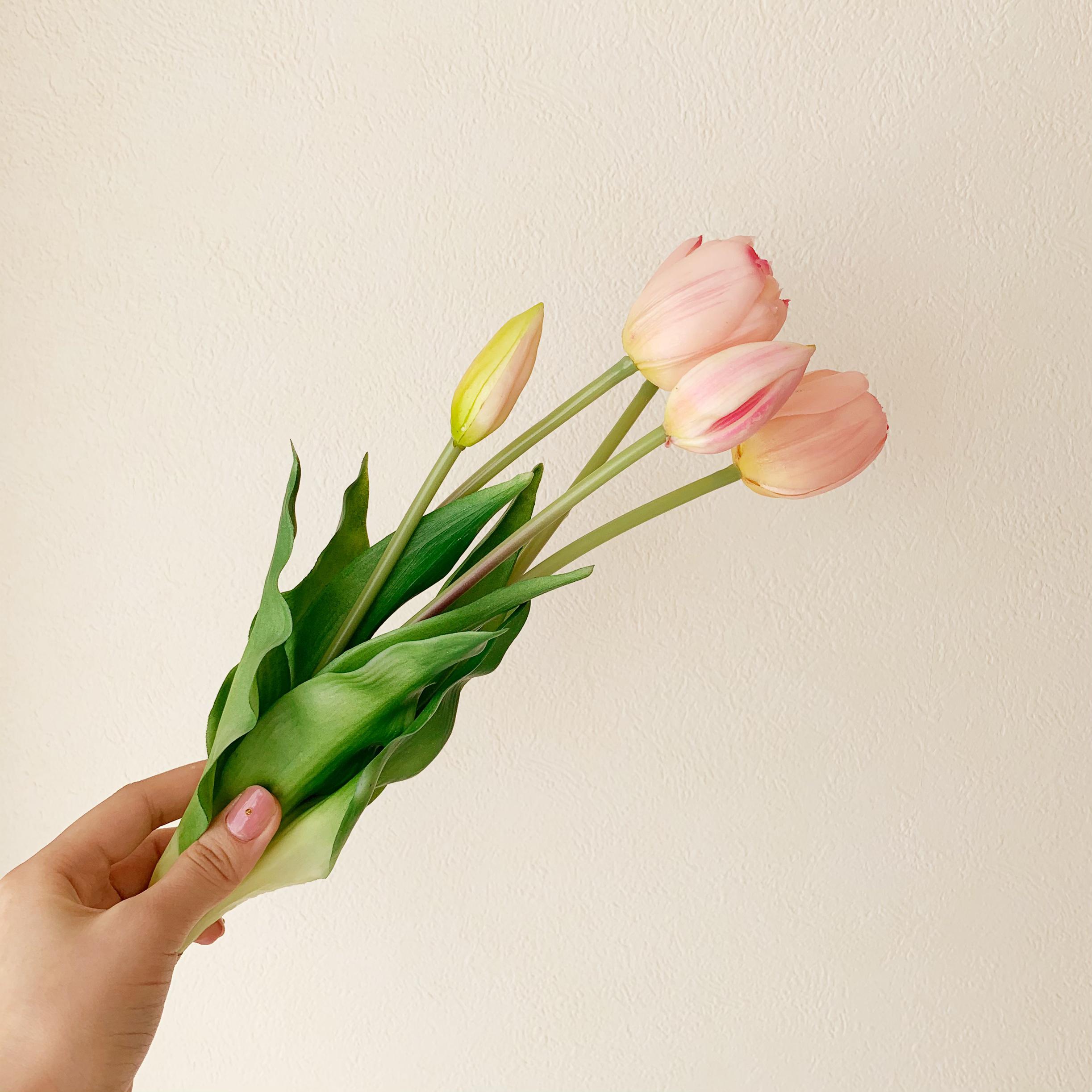 ピンクのチューリップ「愛の芽生え」