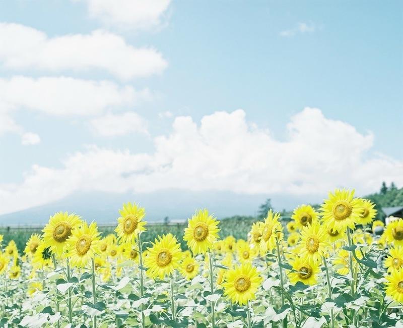 太陽に向かって咲く花に溶けこむような