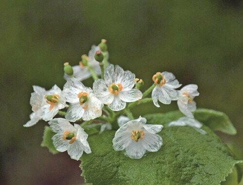 それは、雨に濡れると透ける花