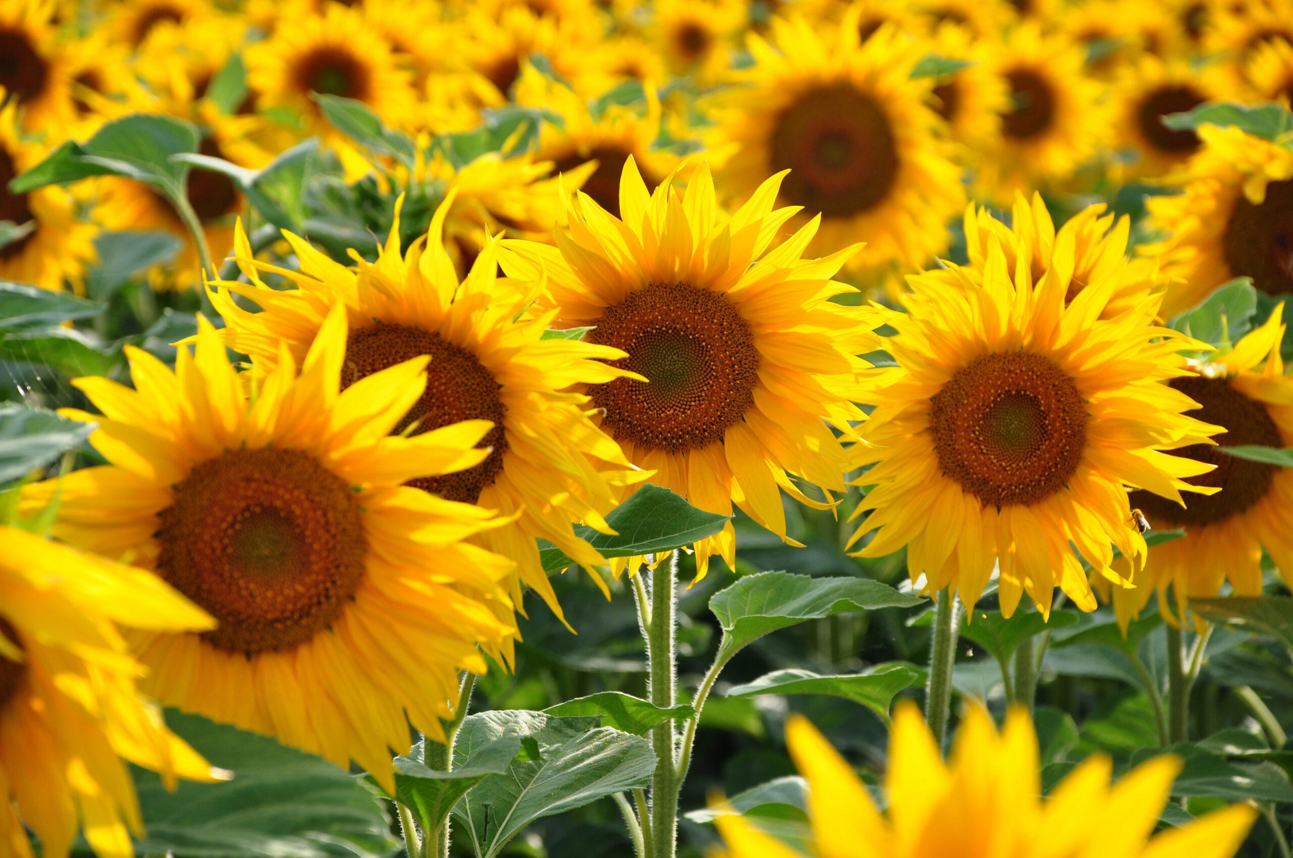 夏の花といえば