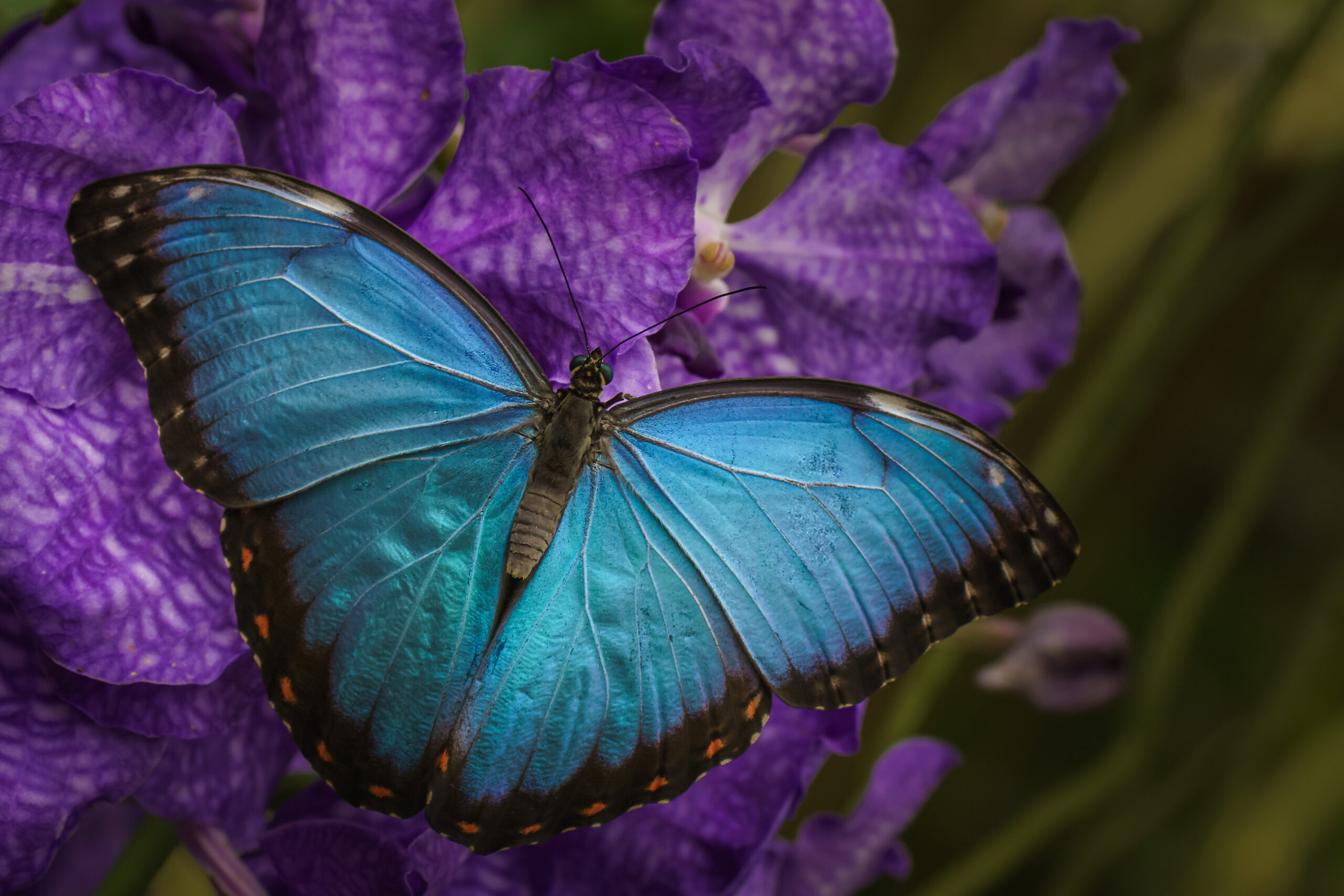 モルフォ蝶は「生きた宝石」