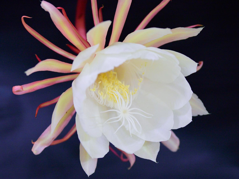 この花は、月下美人って言うんだ