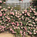 バラの華やかさには、気分を上げるパワーがあると思う