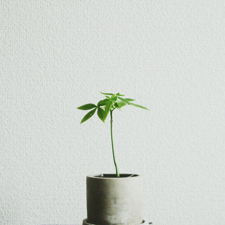 パキラ|人気が高い観葉植物