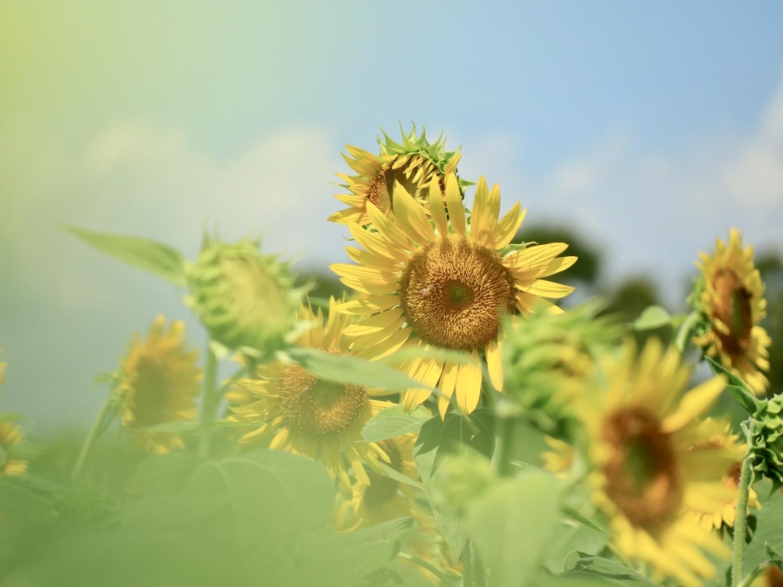 1│黄色に染まる向日葵畑