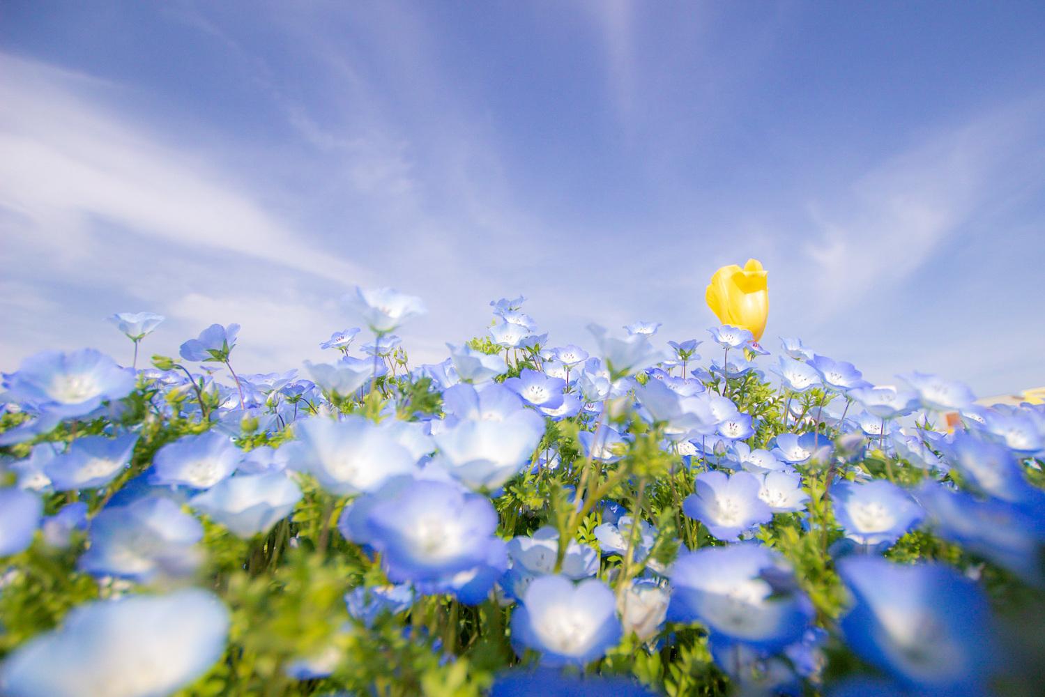 2│一面、青色で埋め尽くすネモフィラ畑