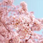 桜の香りに包まれた〜い♡春を先取りできちゃう香水・クリームetc.をチェックして