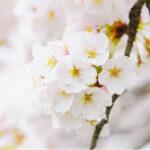 【2/1発売】潤い肌へ導いてくれるLuLuLunから春を感じられる桜の香りが登場