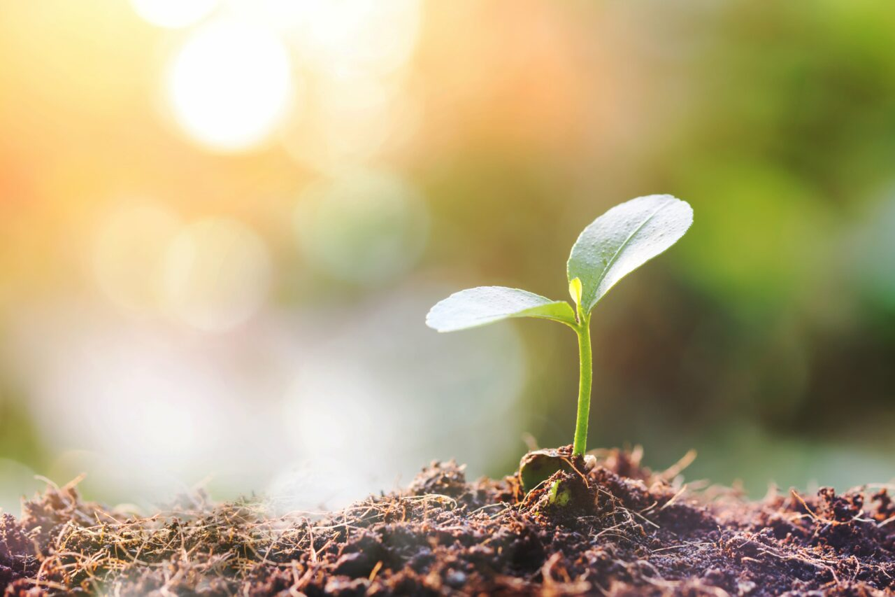 土から芽が生えているところ