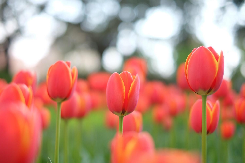 赤いチューリップ 花言葉 愛の告白